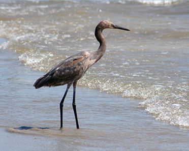 Image of a wading bird on the shoreline of Galveston Bay.
